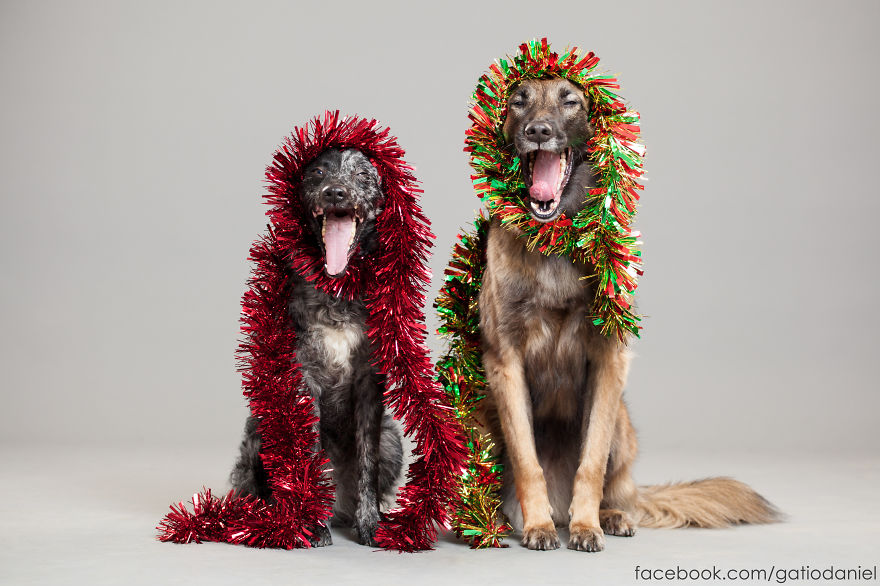 i-took-christmas-themed-dog-portraits-to-wish-you-happy-holidays-4__880