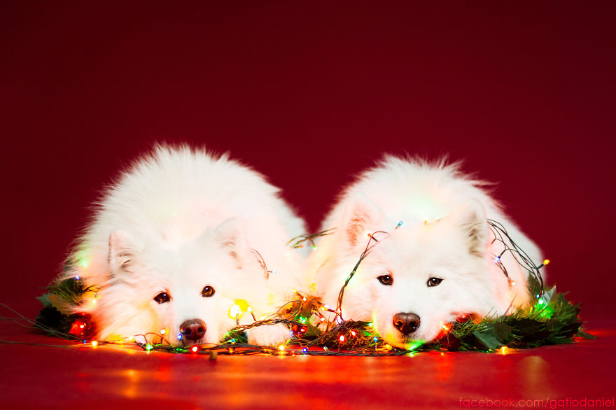 i-took-christmas-themed-dog-portraits-to-wish-you-happy-holidays-9__880